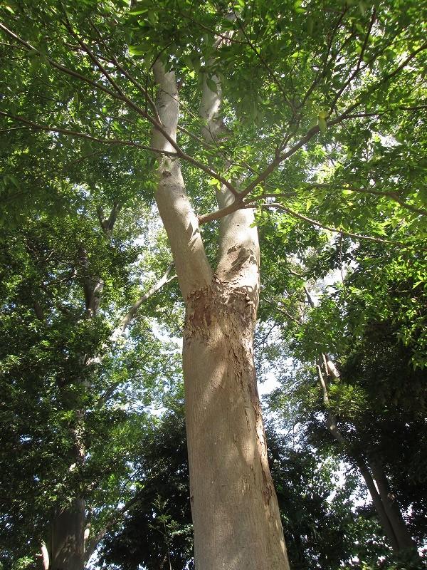 ムクノキの木