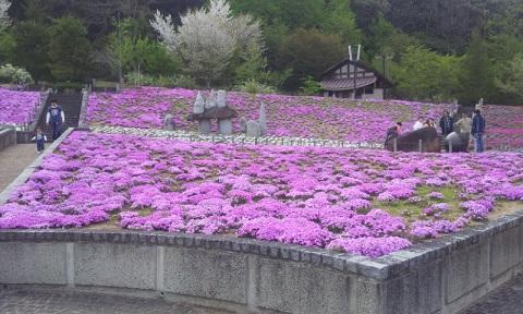 芝桜 25-5-5