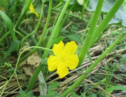 きゅうりの黄色い花 256×199