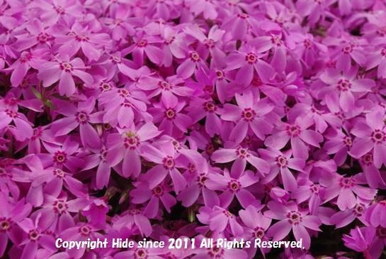 芝桜ピンク色