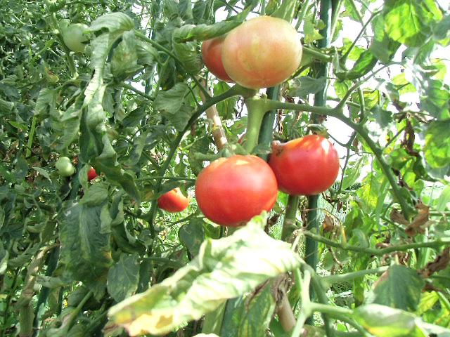 8月3日トマト