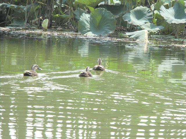 伊佐沼の鴨