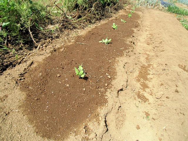 白菜の植え付け