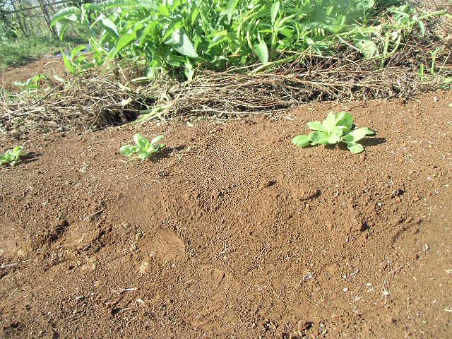 植え付け一週間目の白菜