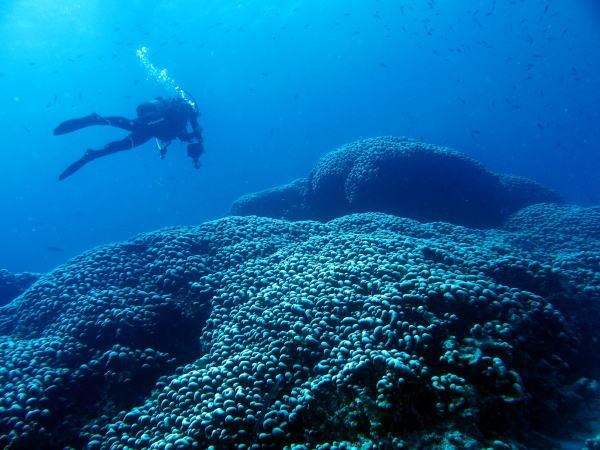 大仏サンゴ1