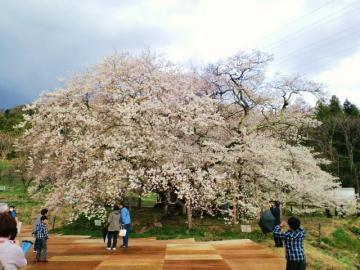 オープニングの桜の木