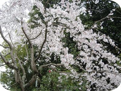 多田神社のサクラ