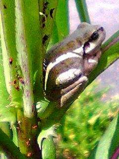 草に蛙のアップ