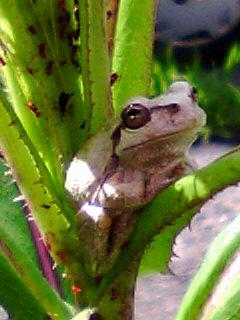 草に蛙 前から