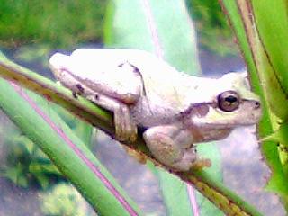 蛙観察2のアップ