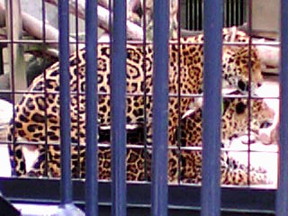 ジャガーのグランデとペケーナ