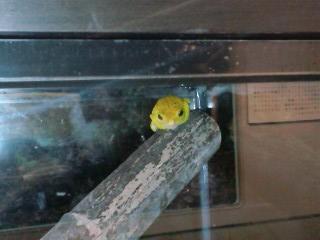 黄色いモリアオガエル 遠景