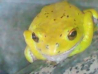 黄色いモリアオガエル