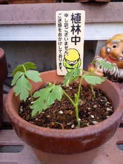 ぶり園長さんのフウセンカズラの芽