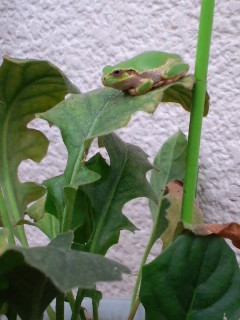 ガーベラの上の蛙