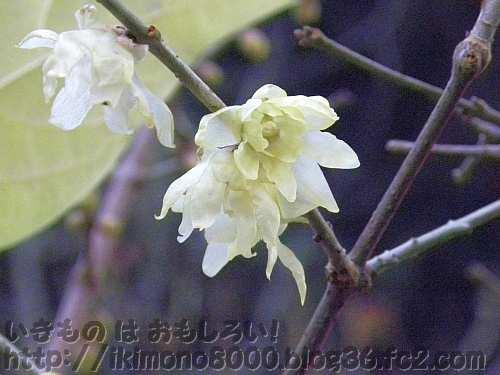 薄い花びらのソシンロウバイ
