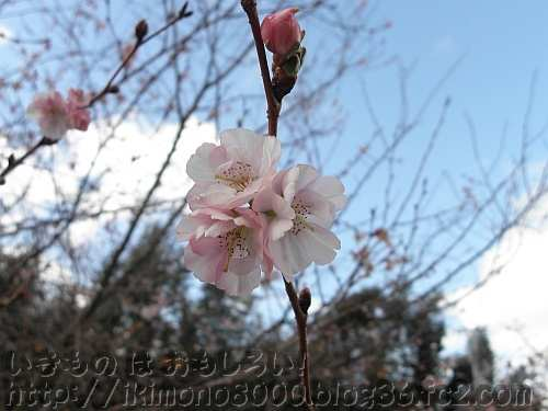 八重のジュウガツザクラの花