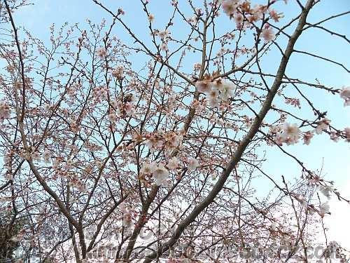 木全体で咲いている1月のジュウガツザクラ