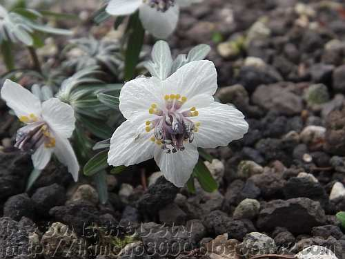 花の文化園のセツブンソウの花