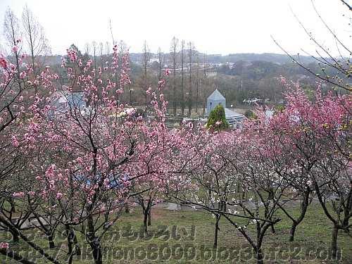 セツブンソウが咲く花の文化園の梅園