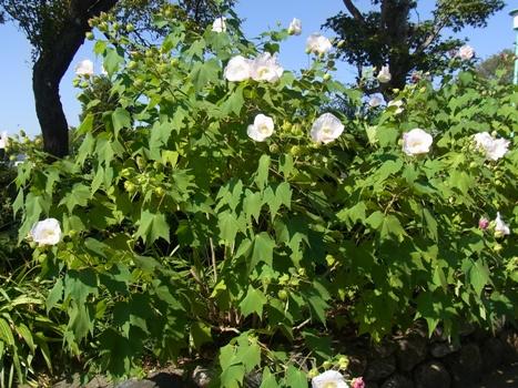 「スイフヨウ ~旋回して開く5花弁」