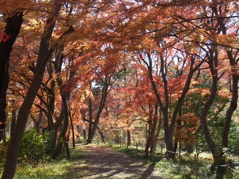 『嵐山渓谷』カエデの紅葉(1)
