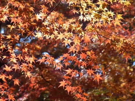 『嵐山渓谷』カエデの紅葉(2)