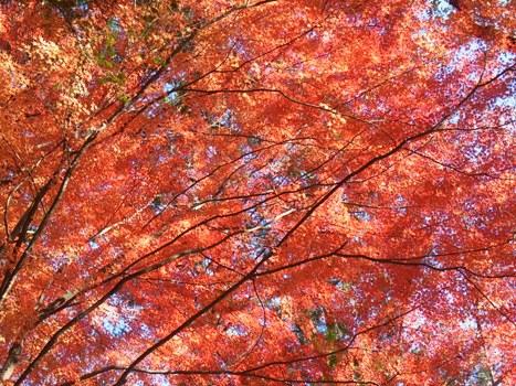 きれぎれの風彩 「嵐山渓谷 カエデの紅葉」1-12