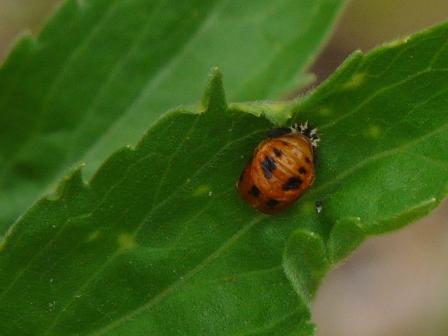 松山総合公園 テントウムシの幼虫