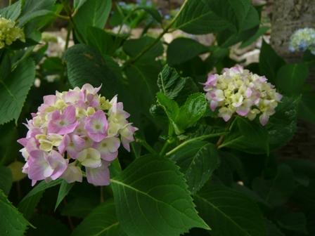 松山総合公園 紫陽花 1