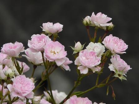 かわら館 バラ (夢乙女) 2