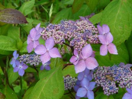 かわら館 紫陽花 1