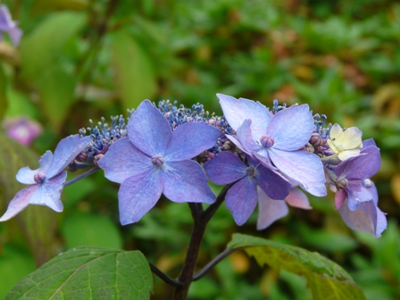 かわら館 紫陽花 2