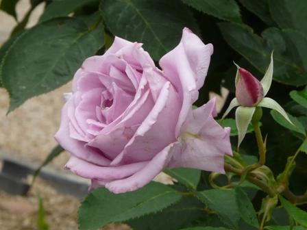 かわら館 バラ (ブルームーン)