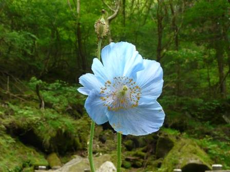 皿ヶ嶺 ヒマラヤの青いケシ 1