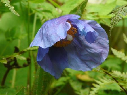 皿ヶ嶺 ヒマラヤの青いケシ 4