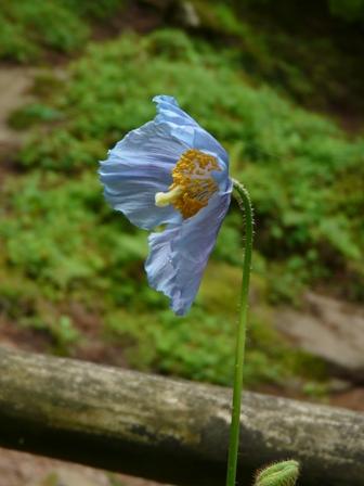 皿ヶ嶺 ヒマラヤの青いケシ 5