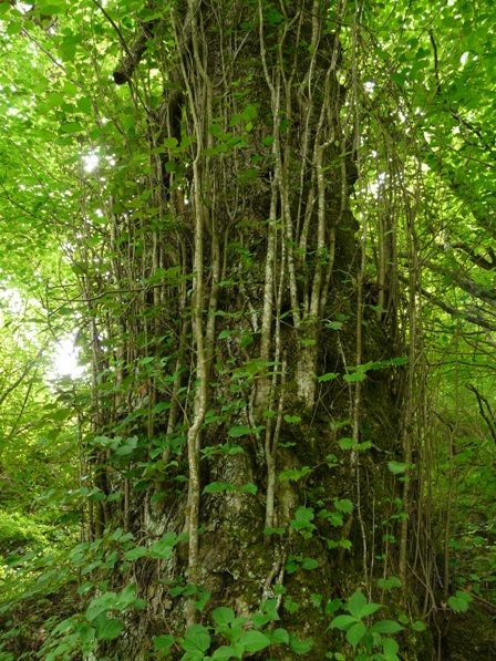 皿ヶ嶺 アサガラの木