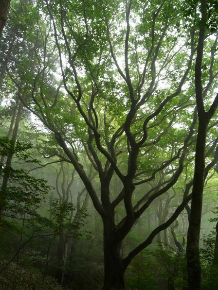 皿ヶ嶺の木々 ブナ林 2