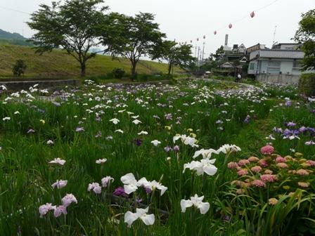 新谷花菖蒲園