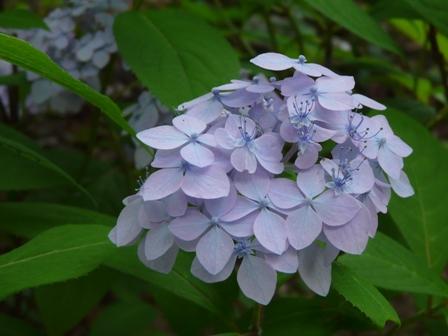 惣河内神社 山紫陽花 伊予てまり