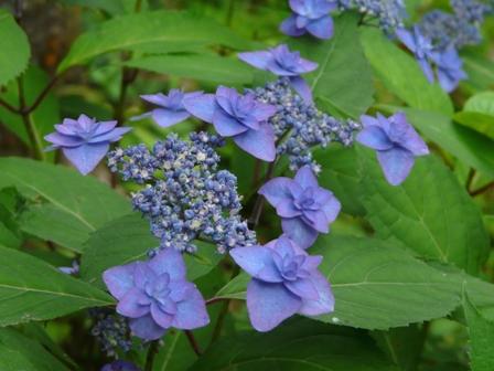 惣河内神社 山紫陽花 深山八重紫