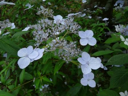 惣河内神社 山紫陽花 伊予の五月雨