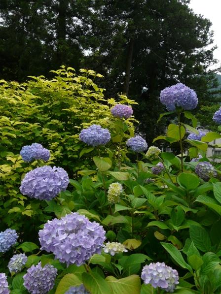 惣河内神社 紫陽花