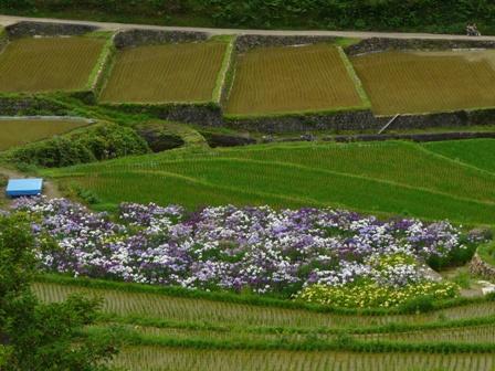 稲積花菖蒲園 10