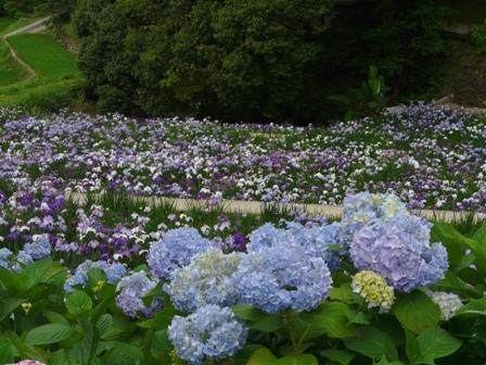 稲積花菖蒲園 3
