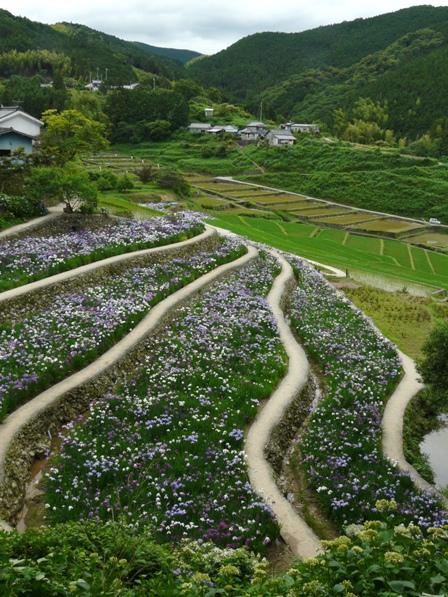 稲積花菖蒲園 2