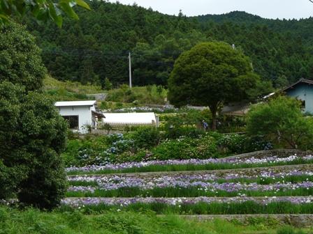 稲積花菖蒲園 11