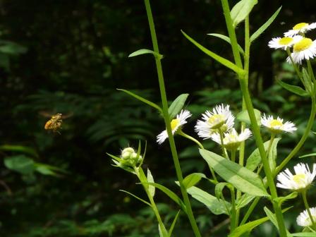 ヒメジョオン & ハチの仲間