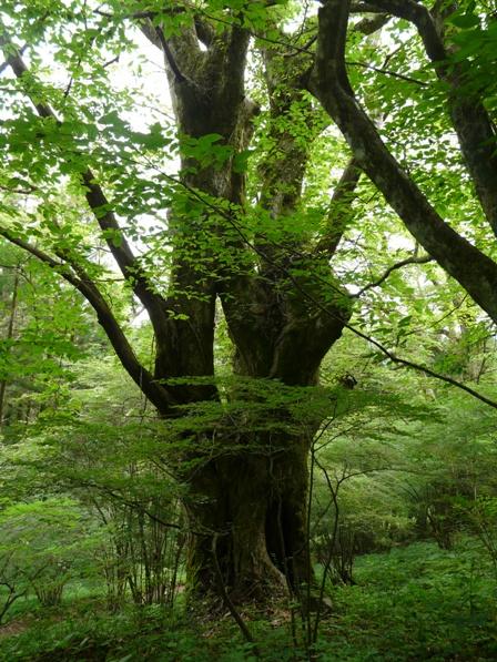 皿ヶ嶺 樹木